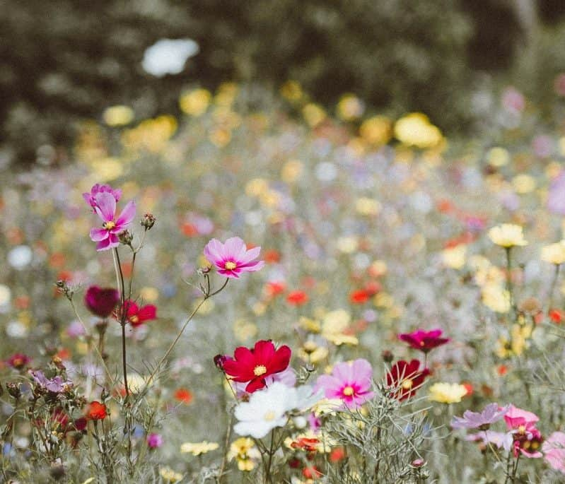 How to grow a wild a wildflower - roseyhome - flowers, gardening, garden, planting, wildflowers